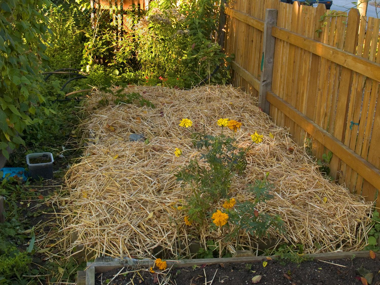 Hay-mulch-asparagus-4