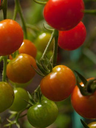 Cherry toms 3